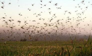 El SENASA advierte que lo peor de la plaga de langostas está por venir